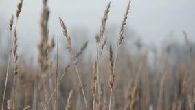 在生长草的运动 干植被 股票视频