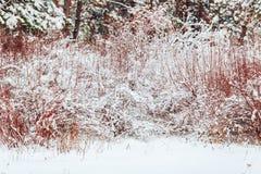 在用在冷的冬天天气的雪报道的多雪的森林杉木分支的冬天风景 库存照片