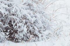 在用在冷的冬天天气的雪报道的多雪的森林杉木分支的冬天风景 库存图片