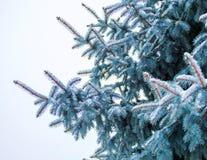 在用在冷的冬天天气的雪报道的多雪的森林杉木分支的冬天风景 免版税图库摄影