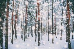 在用在冷的冬天天气的雪报道的多雪的森林杉木分支的冷淡的冬天风景 免版税图库摄影