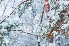 在用在冷的冬天天气的雪报道的多雪的森林杉木分支的冷淡的冬天风景 图库摄影