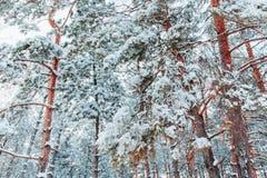 在用在冷的冬天天气的雪报道的多雪的森林杉木分支的冷淡的冬天风景 免版税库存图片