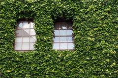 在用常春藤盖的一个老房子的Windows 免版税库存照片