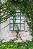 在用常春藤盖的墙壁上的Windows 免版税图库摄影