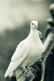 在用栏杆围的B的白色鸽子 库存照片
