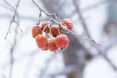 在用树冰报道的分支的小苹果 免版税库存图片