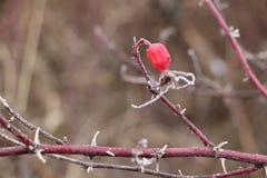 在用树冰报道的棘手的分支的冷冻红色野生玫瑰色莓果 免版税库存照片