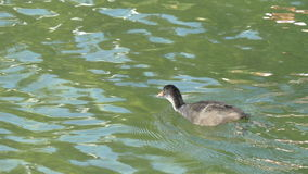 在用浆划它的脚GH4 4K UHD的湖的老傻瓜鸟游泳 影视素材