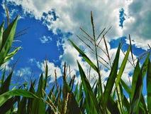 在用穗缨装饰的玉米田的高云 免版税库存图片