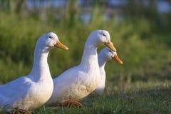 在用绿草盖的池塘的三只白色鸭子 库存照片