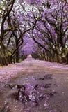 在用花装饰的车道的紫色兰花楹属植物树 库存图片