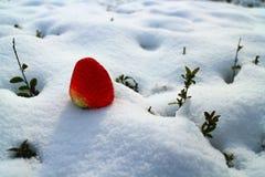 在用雪一条厚实的白色毯子报道的领域的一个草莓  库存照片