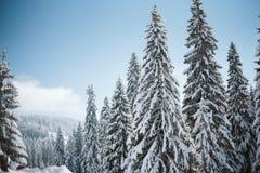 在用雪盖的山顶部的杉木在日出 免版税库存照片