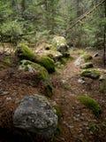 在用青苔盖的森林里 免版税库存照片