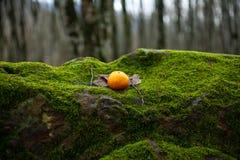 在用青苔盖的石头的蜜桔 库存照片