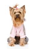 在田径服穿戴的约克夏狗 隔绝在白色后面 免版税库存照片