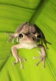 在由后面照的绿色叶子的古巴雨蛙 免版税库存图片