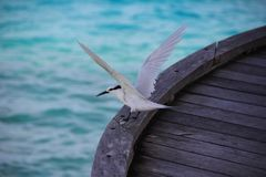 在甲板的一螃蟹珩科鸟Dromas ardeola 免版税库存照片