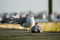 在甲板的海鸥 免版税图库摄影