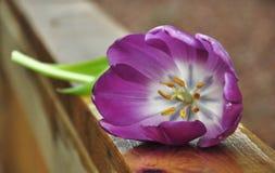 在甲板路轨的紫色郁金香 免版税库存图片