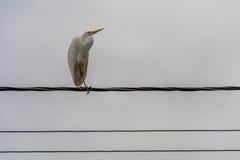 在电导线的白色苍鹭 免版税库存照片