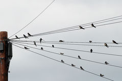 在电报线会集的燕子群  图库摄影