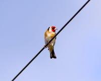在电报线的金翅雀 图库摄影