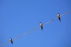 在电汇的三只有斑点的Piculet鸟 库存图片