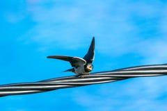 在电线的燕子准备好飞行 免版税库存图片