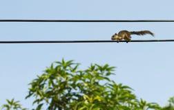 在电缆的灰鼠 免版税库存照片