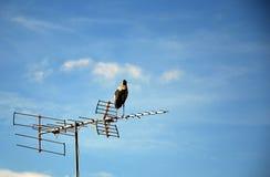 在电视天线的白鹭 库存图片
