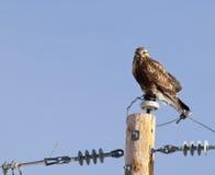 在电话柱的腿上有毛的鹰 库存图片