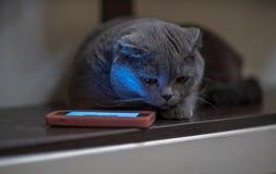 在电话附近的蓝色猫 免版税库存图片