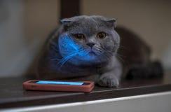 在电话附近的蓝色猫 库存图片