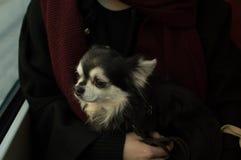 在电车的奇瓦瓦狗狗 免版税库存图片