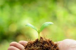 在男性手上的年幼植物有在绿色backg的有机土堆的 免版税库存图片