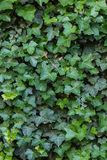 在画象取向的绿色叶子墙壁纹理 免版税库存照片