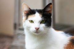 在画象的欧洲猫 免版税图库摄影