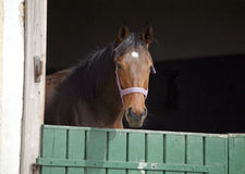 在畜栏门的幼小良种马 免版税库存照片