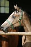 在畜栏门的阿拉伯马公马画象 免版税库存照片