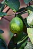 在番石榴树的新鲜的番石榴果子 免版税库存照片