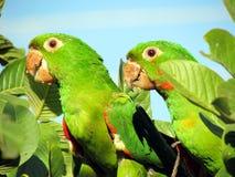 在番石榴树的两三只鹦鹉maritaca 免版税库存照片
