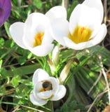 在番红花的蜂蜜蜂 免版税库存照片