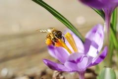 在番红花花的蜂 免版税图库摄影
