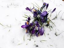 在番红花花的雪秋天 免版税库存照片