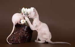 在番红花附近的国内鼠和小猫狮身人面象 免版税库存图片