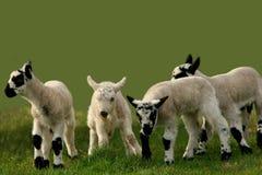 在疾走的羊羔附近 免版税库存照片