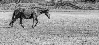 在疾驰的一匹马 库存图片
