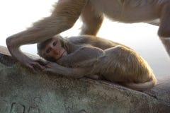在登上波帕岛的猴子在曼德勒缅甸 库存照片
